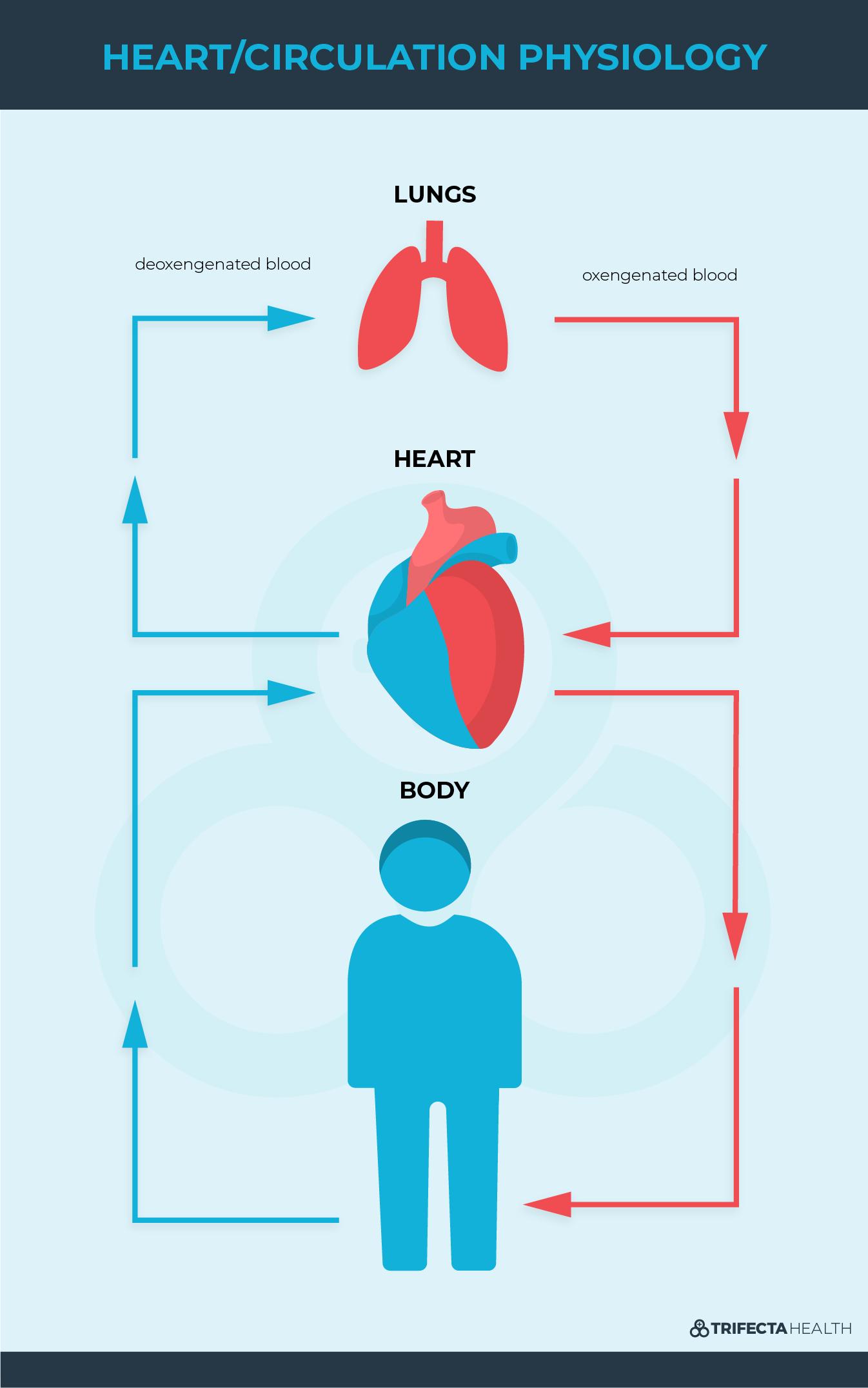 Diagrams_ Heart-circulation physiology