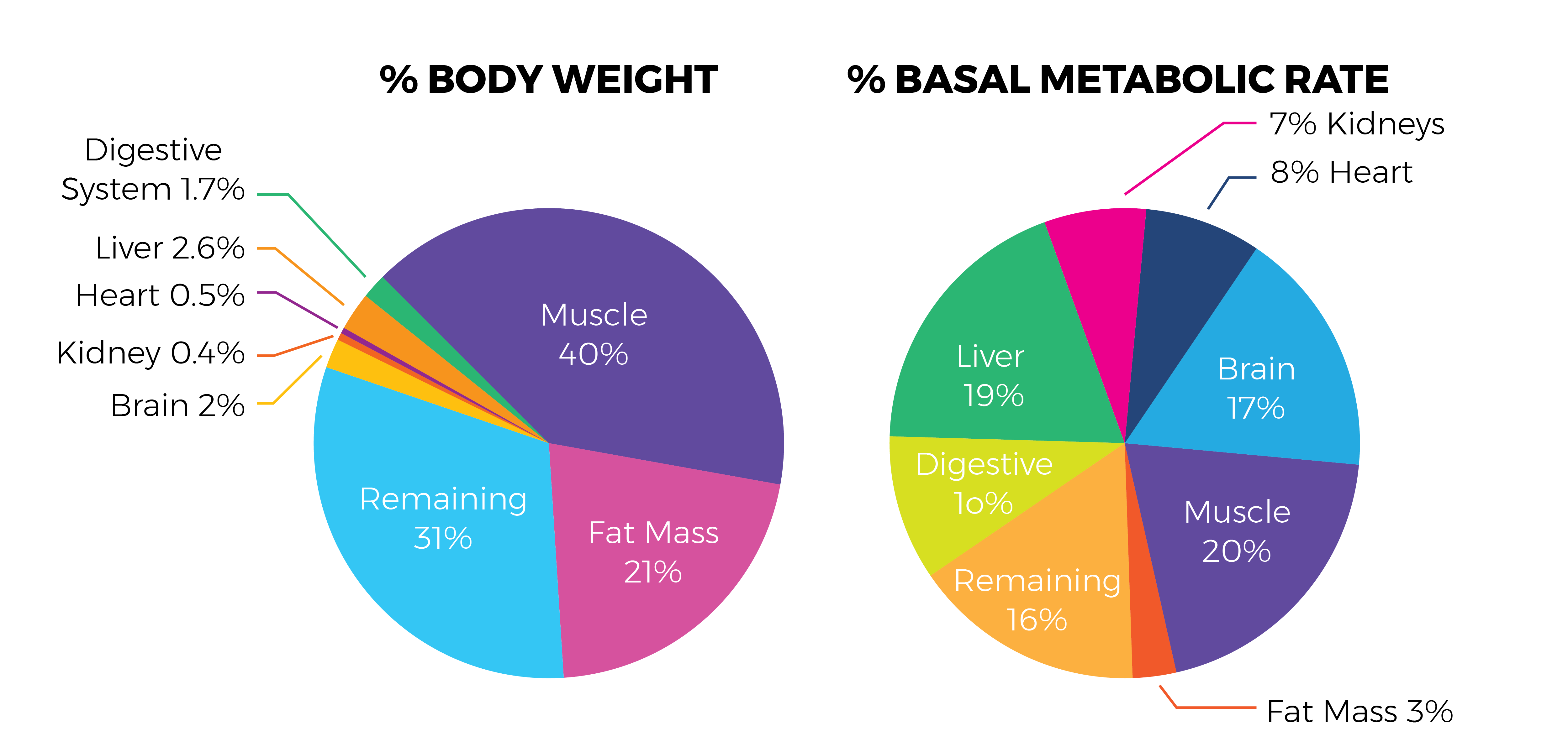 muscle mass percentage and metabolism
