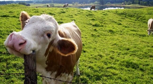 HAPPY COWS ORGANIC DAIRY