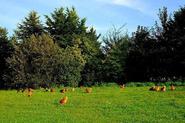 free range chickens on farm