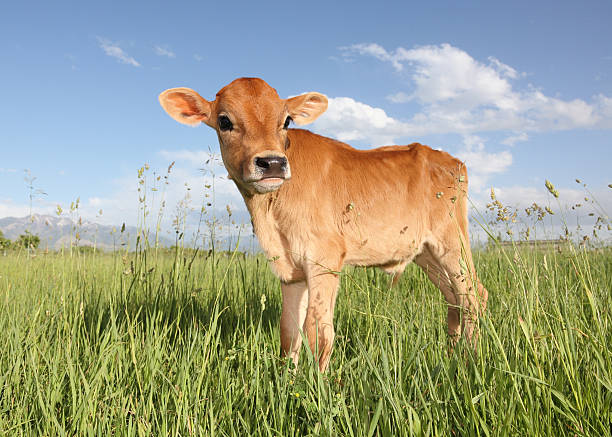baby cow calf in field