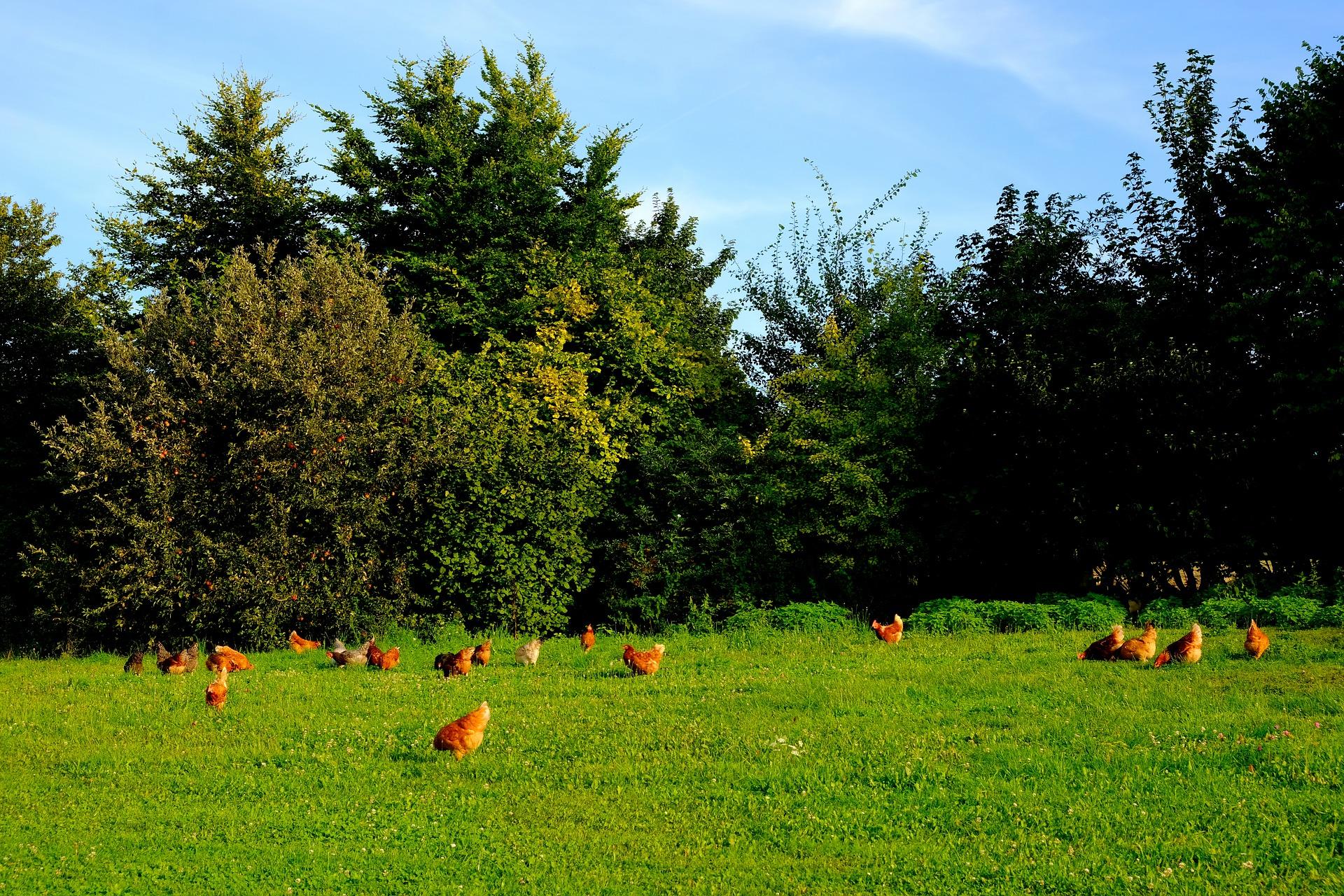 Brown chicken grazing free in a grass field