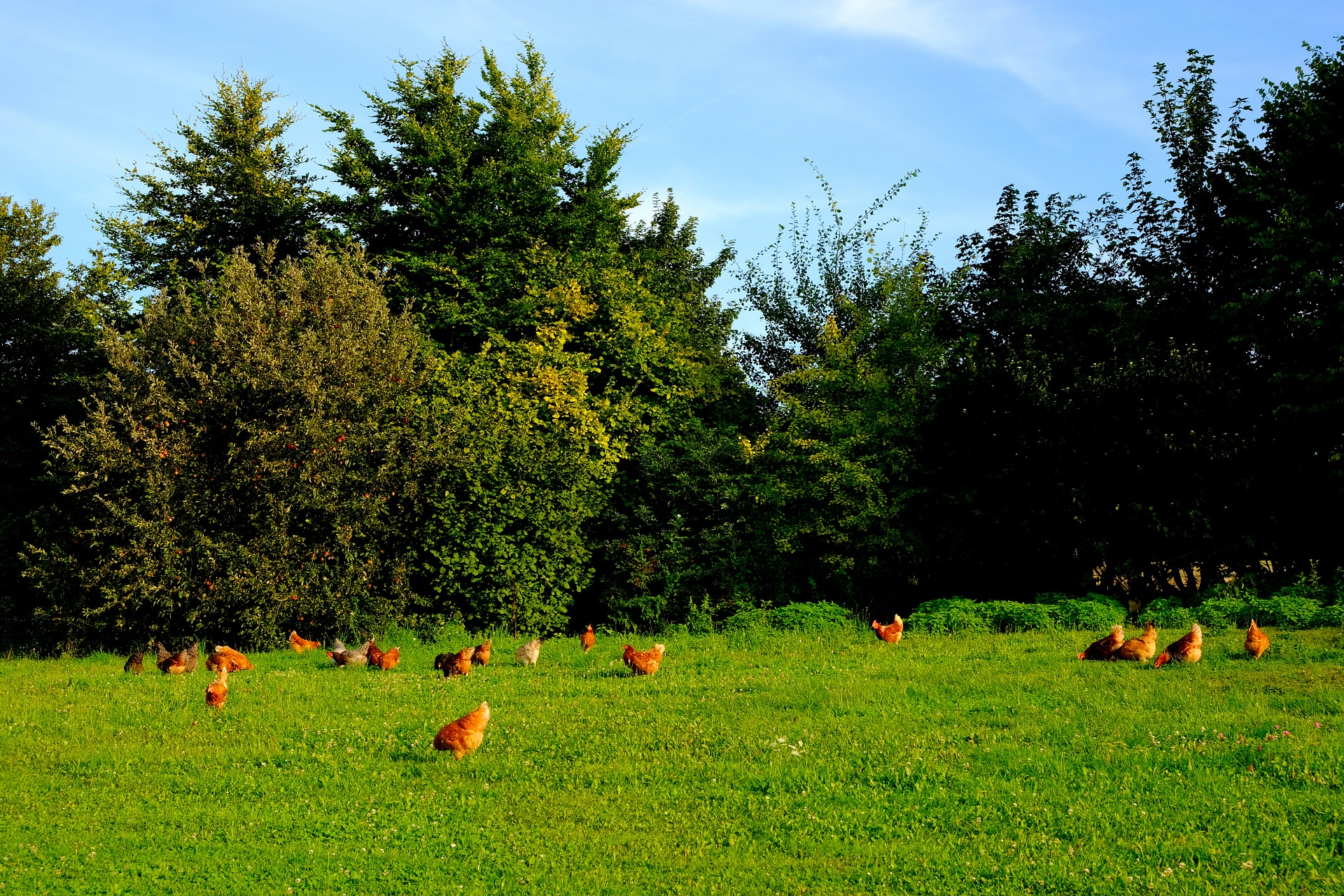Brown chicken grazing free in a grass field