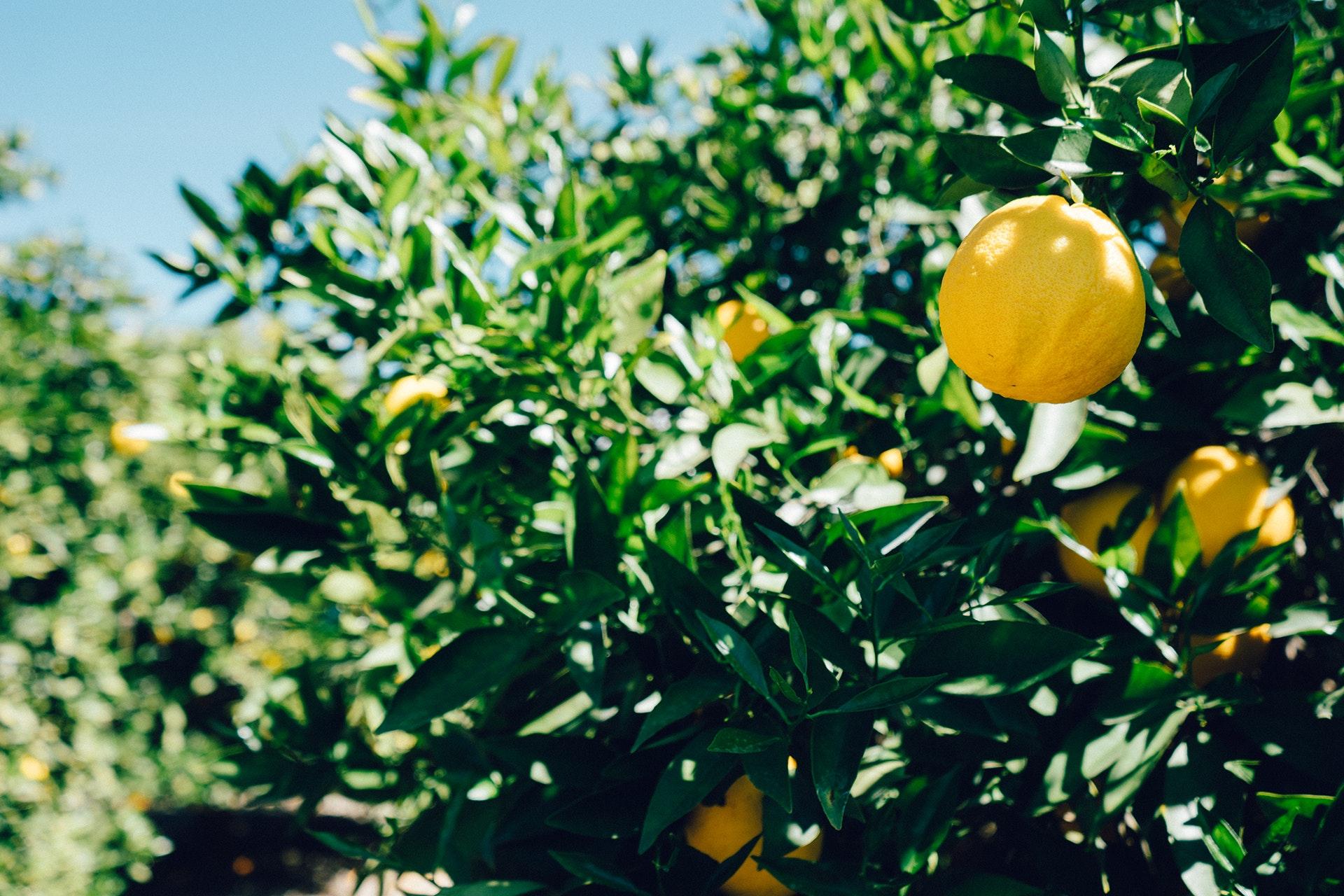 Myer lemon tree with ripe fruit