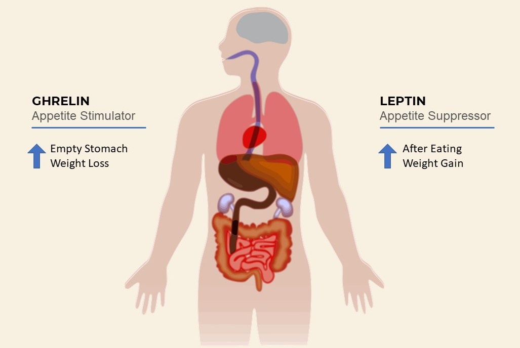 Key hormones used to regulate hunger: ghrelin and leptin affect on weight loss and weight gain